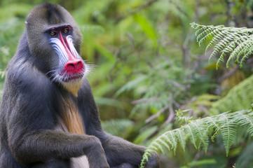 Portrait of Male mandrill, Parc de la Lekedi, Haut-Ogooue, Gabon