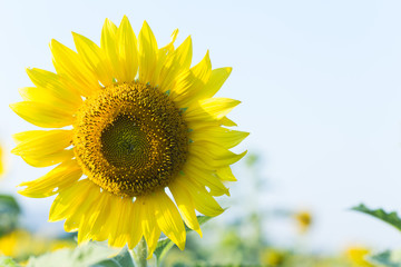 Photo Sunflower sky As wallpaper and background