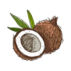 Coconut. Vector illustration