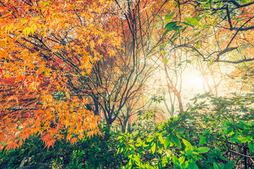 Autumn maple landscape in the foggy morning