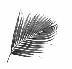 black leaf of palm tree isolated on white background
