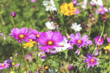 cosmos flowers in the garden. over sunlight and soft-focus in the background. film color tone