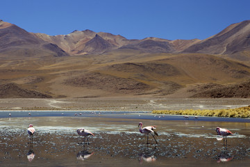 Flamingos drinking in a lagoon, South West Bolivia, South America