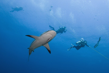 Caribbean reef shark (Carcharhinus perezii) swimming with divers, Roatan, Bay Islands, Honduras, Caribbean, Central America