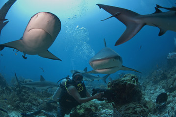 Diver swimming with Caribbean reef shark (Carcharhinus perezii), Roatan, Bay Islands, Honduras, Caribbean, Central America