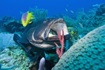 Black grouper (Mycteroperca bonaci) at cleaning station, Roatan, Bay Islands, Honduras, Caribbean, Central America