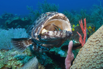 Close up of a black grouper (Mycteroperca bonaci) with his mouth open, Roatan, Bay Islands, Honduras, Caribbean, Central America