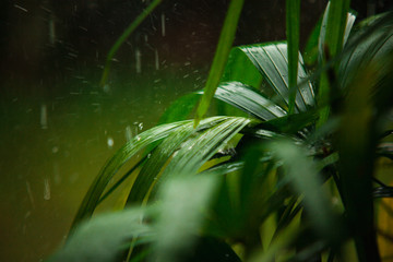 Tropical rain season in asia. Green palm leaves with drops of water on raining nature background.