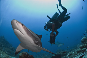 Diver swimming with Caribbean reef shark (Carcharhinus perezii), Roatan, Bay Islands, Honduras, Caribbean, Central America