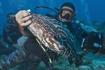 Diver holding black grouper (Mycteroperca bonaci)), Roatan, Bay Islands, Honduras, Caribbean, Central America