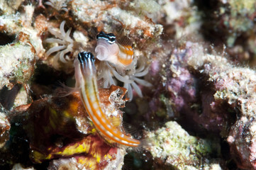 Bath's blenny (Ecsenius bathi), localized, fighting, Komodo, Indonesia, Southeast Asia, Asia