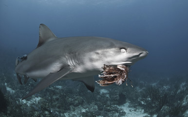 Caribbean reef shark (Carcharhinus perezii) eating lionfish (Pterois volitans) and showing nictitating membrane, Roatan, Bay Islands, Honduras, Caribbean, Central America