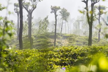 Sunrise at tea plantations, Haputale, Sri Lanka Hill Country, Nuwara Eliya District, Sri Lanka, Asia