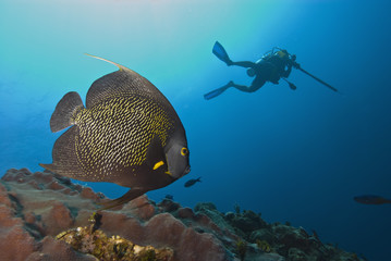 French angelfish (Pomacanthus paru) with a diver spearfishing behind, Roatan, Bay Islands, Honduras, Caribbean, Central America