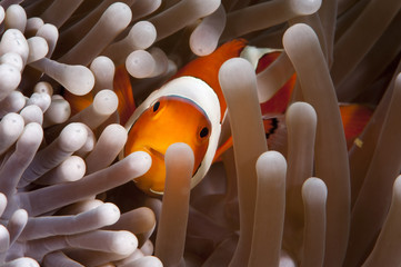 Clark's anemonefish (Amphiprion clarkii), Komodo, Indonesia, Southeast Asia, Asia