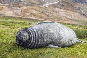 Southern elephant seal (Mirounga leonina) pup, Grytviken Whaling Station, South Georgia, South Atlantic Ocean, Polar Regions
