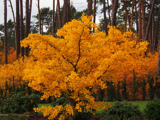 Autumn shot of Ginkgo biloba - maidenhair tree