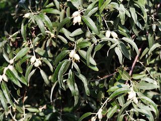 Oleaster, Russian olive - Elaeagnus angustifolia