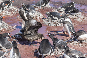 An adult brown skua (Stercorarius spp) stealing a penguin egg at Brown Bluff, Antarctica, Polar Regions