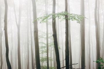 Tall trees in forest during foggy weather