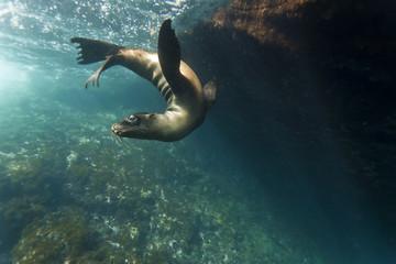 Galapagos sea lion (Zalophus wollebaeki) underwater