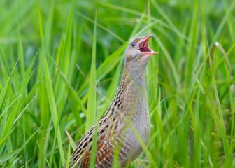 Corncrake sitting in green grass