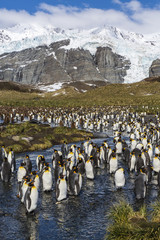 King penguins (Aptenodytes patagonicus), Gold Harbour, South Georgia Island, South Atlantic Ocean, Polar Regions