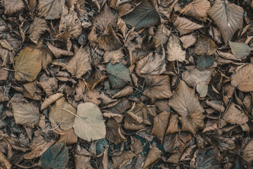 Dry, fallen leaves lie on the ground in the autumn on the nature