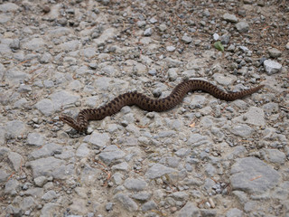 adder snake on stone path