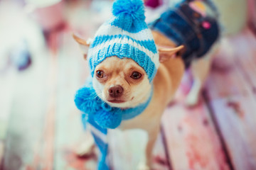 Funny chihuahua in blue winter hat