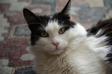 Sguardo del gatto