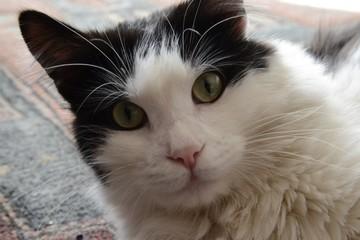 sguardo del gatto europeo