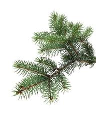 branch of fir-tree
