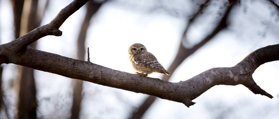 Spotted Owl bird, Athene brama, in Ranthambhore National Park, Rajasthan, Northern India