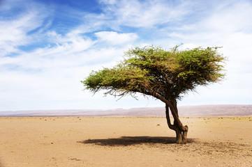 Acacia tree in Sahara Desert, Africa