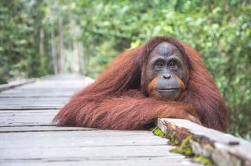 Portrait of a semi-wild orangutan in Tanjung Puting National Park. Kalimantan, Indonesia.