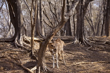 Spotted deer male stag, Axis axis, (Chital) scratching velvet from antlers in Ranthambhore National Park, Rajasthan, India