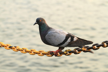Pigeon hold on chain string with blurred river background