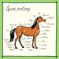 Parts of horse. Equine anatomy. Equestrian scheme with text. Hand drawing cartoon vector illustration.