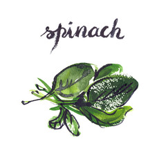 Watercolor painting and hand lettering of green spinach leaves on white isolated background