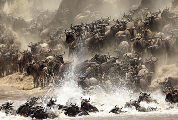 Wall Mural - Wildebeests crossing Mara river, Masai Mara