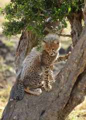 Cheetah is a big cat also know as the hunting leopard