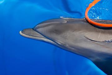 Bottlenose dolphin swims