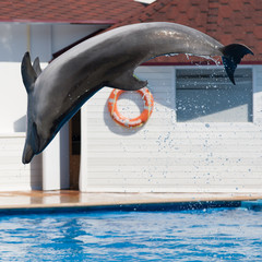 Dolphin Afalina jumping in sea pool