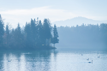 beautiful winter foggy lake with swans
