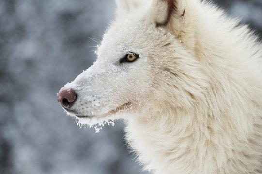 Arctic wolf (Canis lupus arctos), Montana