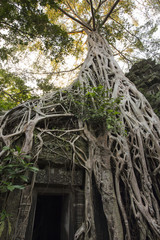 Strangler fig tree roots growing over entrance of Ta Prohm temple