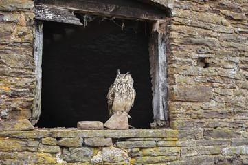 Indian eagle owl (Bubo bengalensis), Herefordshire, England, United Kingdom, Europe
