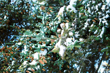 Pine branch with cones in the snow - Christmas Holidays Background