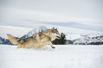 Grey wolf (timber wolf) (Canis lupis), Montana, United States of America, North America